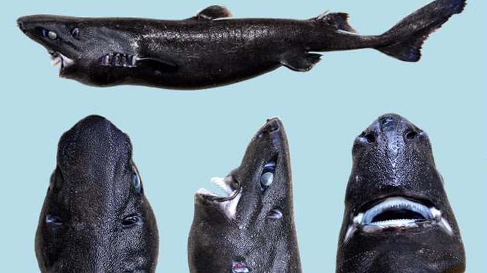 de2515d2ad2c4a393fdc85fd62d3263b - Este es el Tiburón linterna ninja, una nueva especie recién descubierta