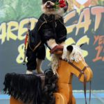 Perro Pomerania disfrazado del Zorro 9