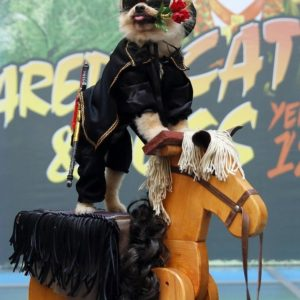 Perro Pomerania disfrazado del Zorro 25