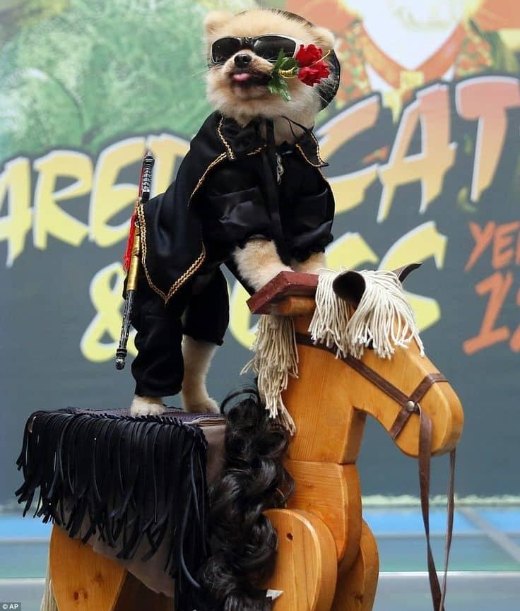 Perro Pomerania disfrazado del Zorro 204