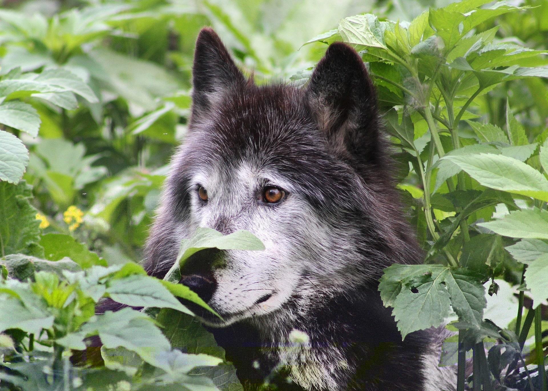 Antiguos mexicanos crearon una raza de perros lobo 13