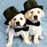 Foto cachorros labrador con sombrero de copa 9