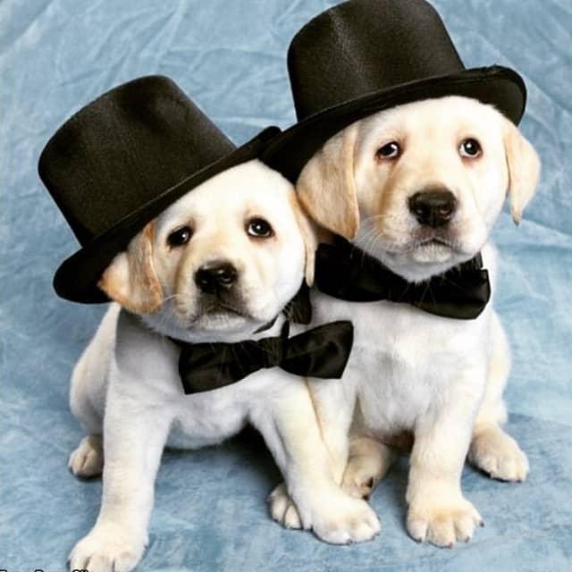 Foto cachorros labrador con sombrero de copa 190
