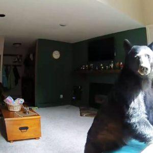 #Video Un oso entra en una casa, toca el piano, roba comida y se va 20