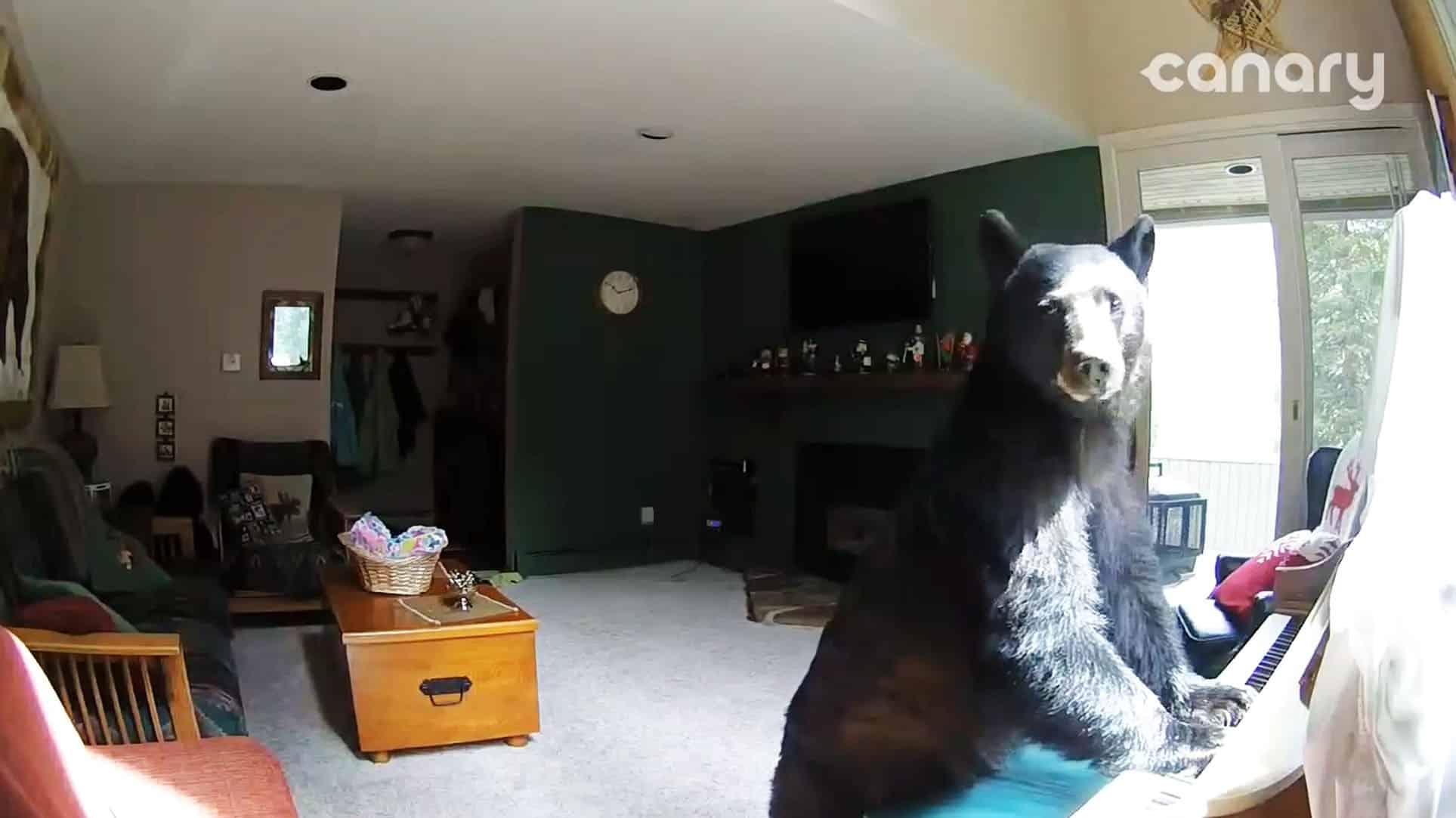 #Video Un oso entra en una casa, toca el piano, roba comida y se va 13