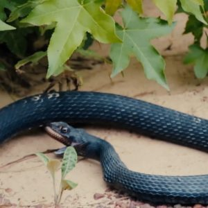 #Video Serpiente vomita a otra serpiente viva 27