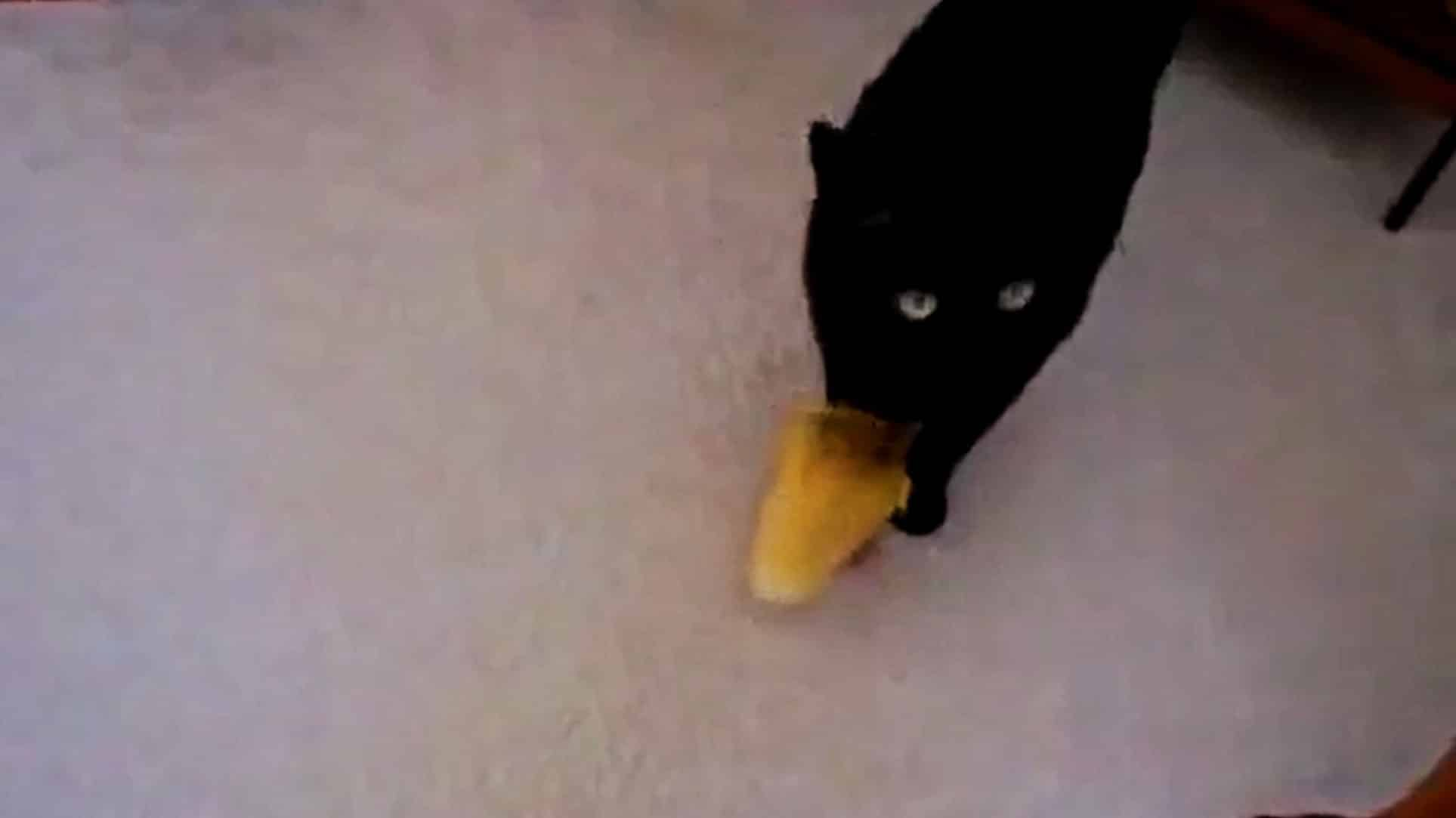 #Video Un pato bebé persigue a un gato negro 12