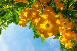 3 Plantas Alucinógenas Sagradas Más Peligrosas 15