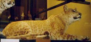 Animales Híbridos – Cruces de animales más exóticos 13
