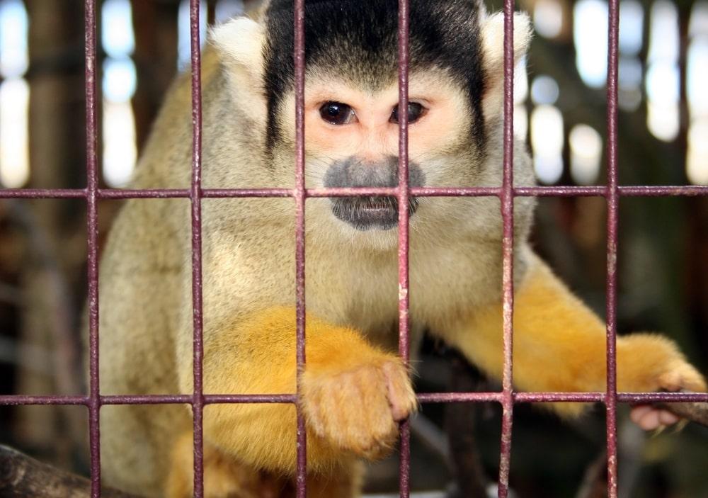 Monos con genes humanos 2 - Científicos crean Monos con Genes Humanos
