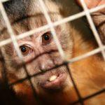 Científicos crean Monos con Genes Humanos 8