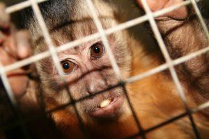 Monos con genes humanos 4 300x200 - Científicos crean Monos con Genes Humanos
