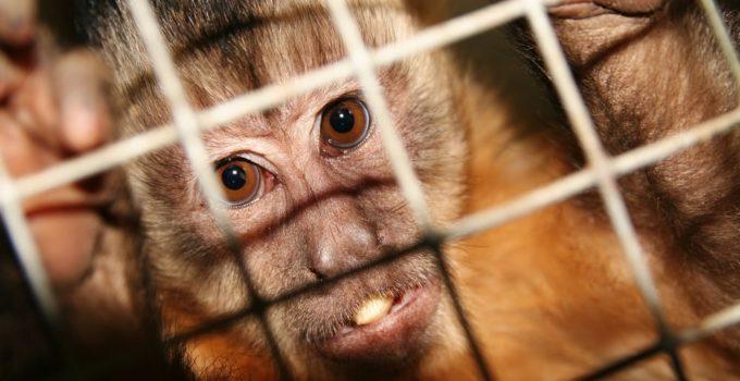 Monos con genes humanos 4 680x350 - Científicos crean Monos con Genes Humanos
