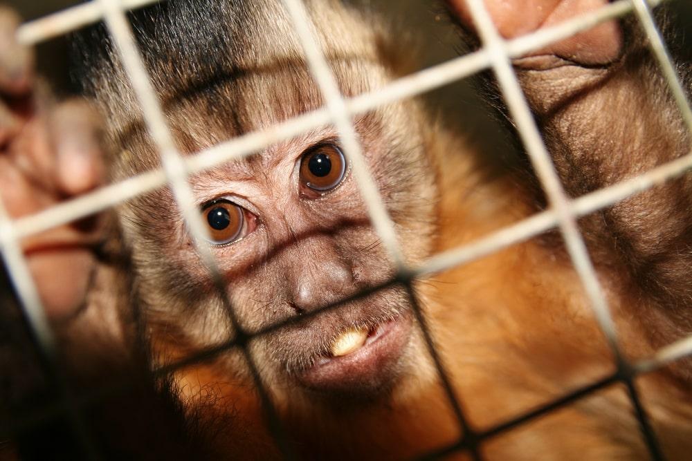 Científicos crean Monos con Genes Humanos 9