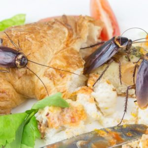 El Súper alimento del futuro: La leche de Cucaracha 57