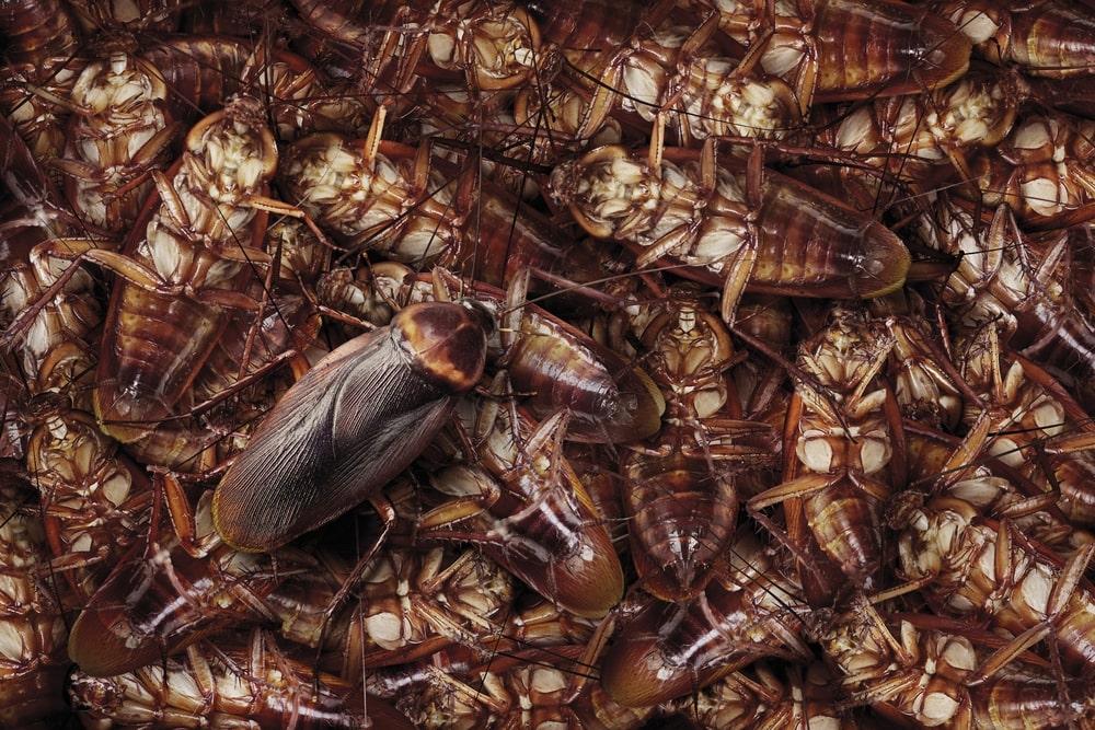 El Súper alimento del futuro: La leche de Cucaracha 13