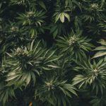 """Todo lo que tienes que saber sobre """"El Cannabis"""" 7"""