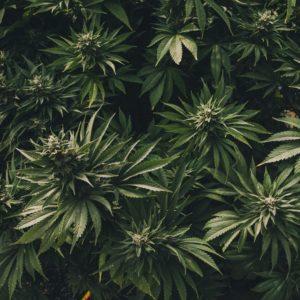 """Todo lo que tienes que saber sobre """"El Cannabis"""" 29"""