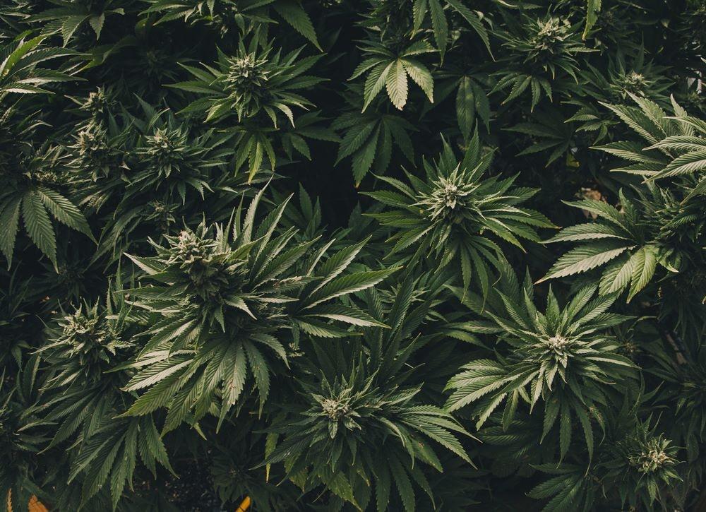 """Todo lo que tienes que saber sobre """"El Cannabis"""" 12"""