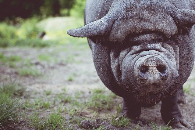 Cerdo vietnamita 9